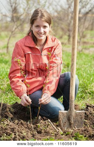 Woman Resetting  Raspberry Sprouts