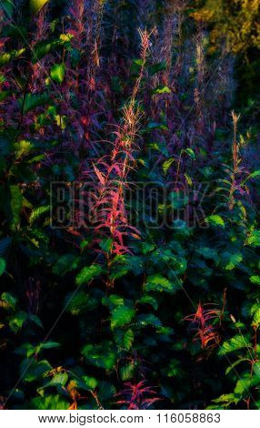 Spend Fireweed In Soft Light