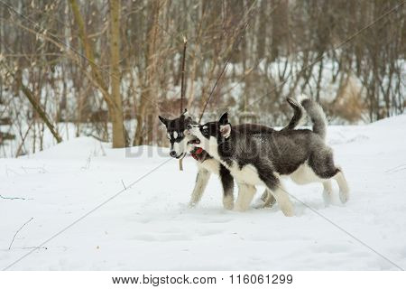 Siberian Husky Playing In The Snow In Winter Day