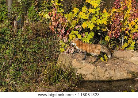 Red Fox (vulpes Vulpes) Going Left On Rock