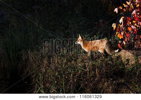 Red Fox (vulpes Vulpes) In Dramatic Light