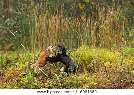 Red Fox And Silver Fox (vulpes Vulpes) Fight