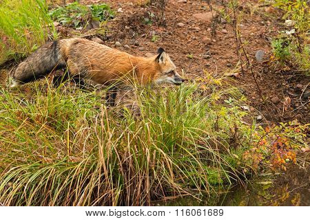 Red Fox (vulpes Vulpes) Trots On Shoreline