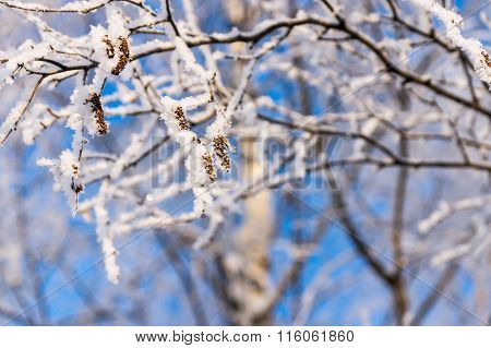 Branches Of Trees With White Brilliant Snow And Hoarfrost