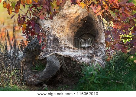 Raccoon (procyon Lotor) Peeks Out From Inside Log