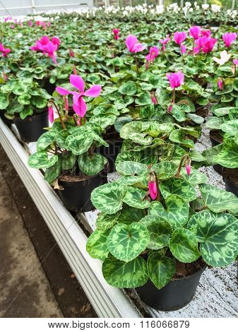 Cyclamen Flowers In A Garden Center