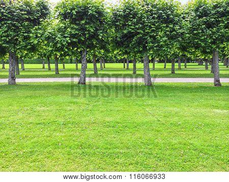 Beautiful Linden Trees In The Summer Park