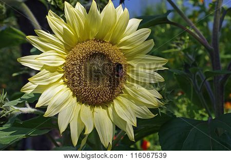 Bright sunflower with a bee.