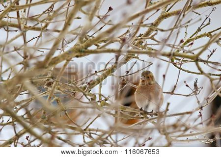 Cute female Common Chaffinch (Fringilla coelebs) perching on a tree in Europe