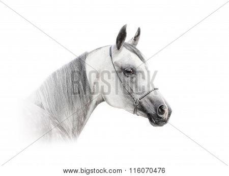 Arab Horse Isolated