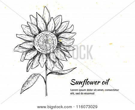 Hand Drawn Vector Illustration - Sunflowers Background. Vintage