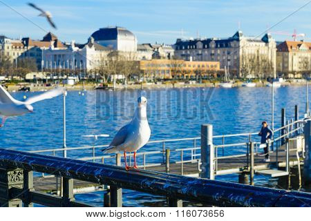 Seagulls On The Bank Of The Limmat River, In Zurich