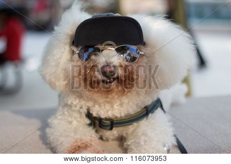 Bichon In Shades