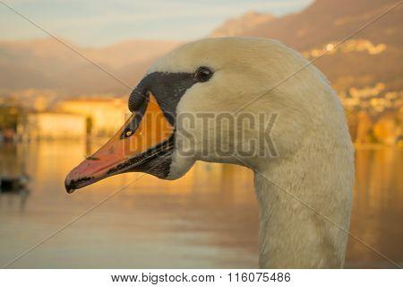 Swans On Promenade,  Lugano