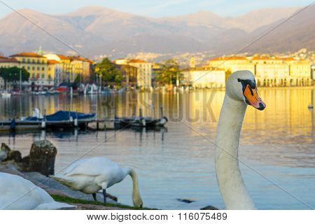 Swans On Promenade,  Lugano