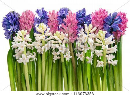 Fresh Hyacinth Flowers. Pink, Blue, White Blossoms