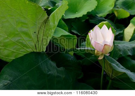 Beautiful lotus pool