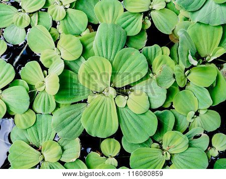 Float Water lettuec In Tubs