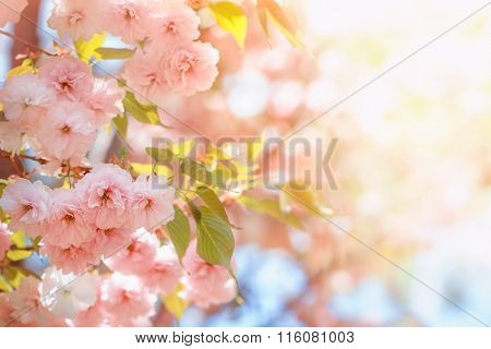 Blossoming cherry trees  in spring
