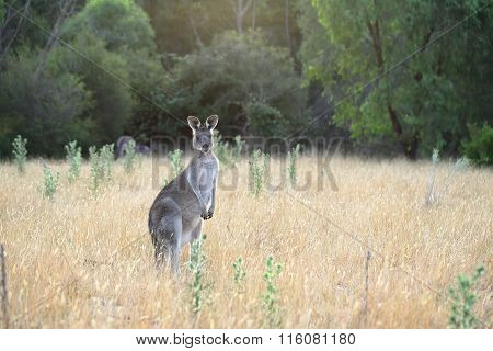 Female Kangaroo