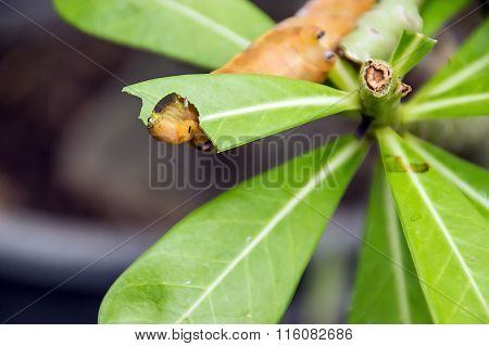 Yellow Caterpillar on green leaf