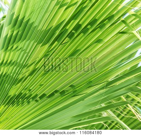 Fresh green palm leaves. Close up.