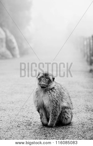 a wild Barbary macaque through the fog in the Rock of Gibraltar, in black and white