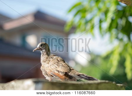 Racing homer Pigeon nestlings bird sitting alone.
