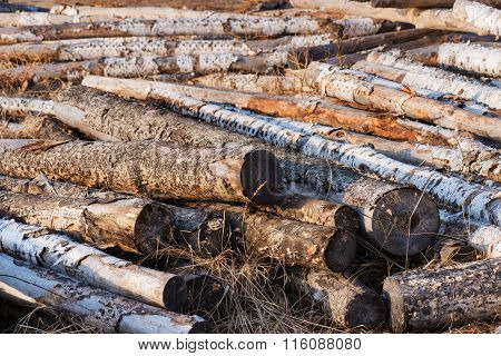 Pile Of Birch Logs Or Firewood In The Forest .