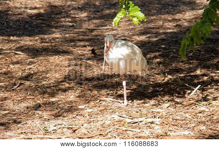 Ibis under the shadow