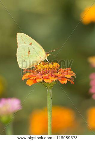 Yellow female Cloudless Sulphur butterfly feeding on an orange Zinnia in summer garden