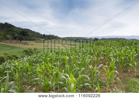 Corn growing in a corn field landscape