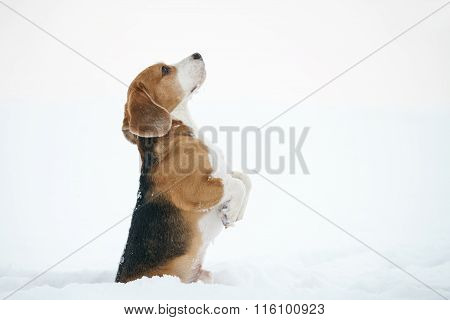 beagle dog outdoor funny portrait in winter