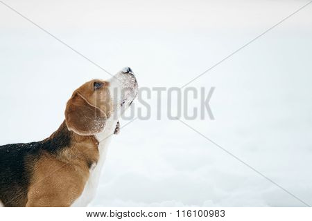 beagle dog outdoor portrait in winter