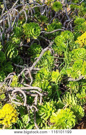 Evergreen succulent decorative plant Aeonium