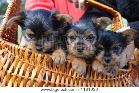 Yorkie Pups...