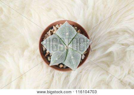 Cactus In Pot On Fur
