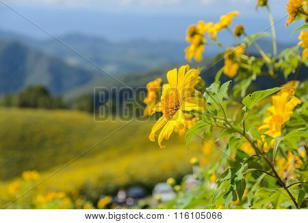 Wild Mexican Sunflower Blooming Moutain