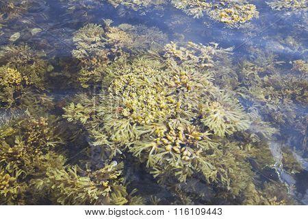 Seaweed of White sea