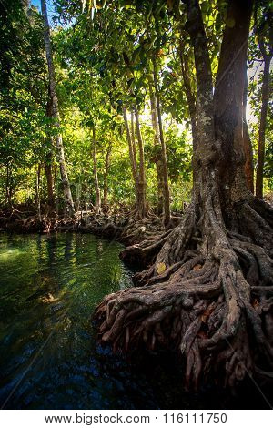 Large Mangrove Tree Trunk With Interlaced Roots Near Green River