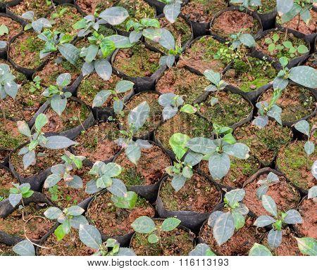 Tea Plants In A Nursery