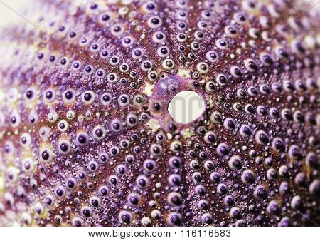 Purple See Urchin In Purple And Brown Color