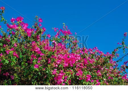 Beautiful Flowering Shrubs Against The Blue Sky