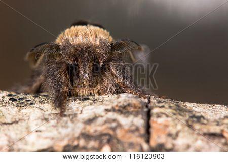 December moth (Poecilocampa populi) head on