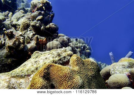 Flounder On A Coral Reef
