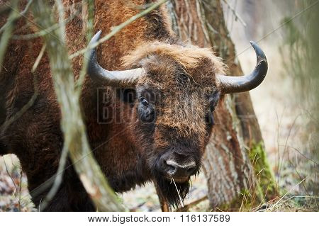 European Bison Portrait