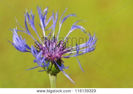 Mountain bluet close-up