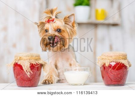Yorkshire terrier enjoying the sour cream.