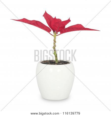 red flower in white pot