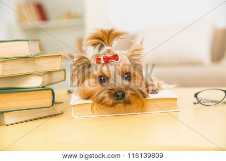 Yorkshire terrier is lying on the book.